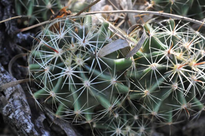 Cactus_sp_1_3.JPG