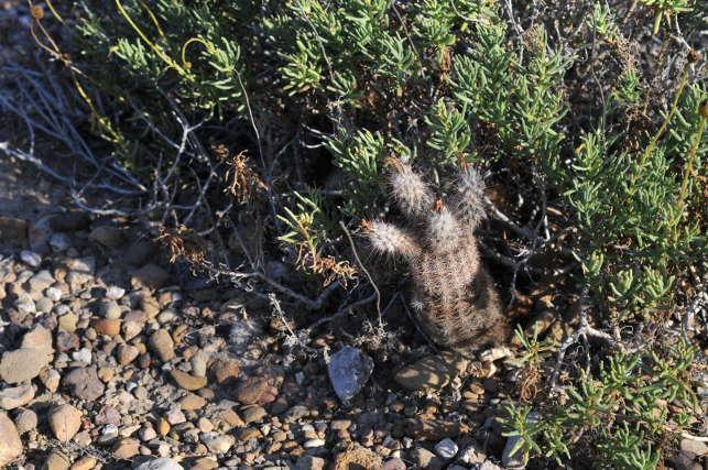 Echinocereusreichenbachii2.JPG