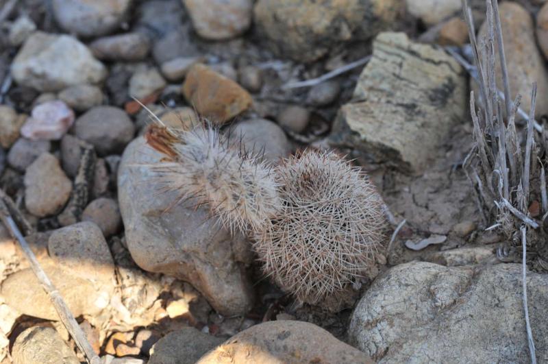 Echinocereusreichenbachii3.JPG