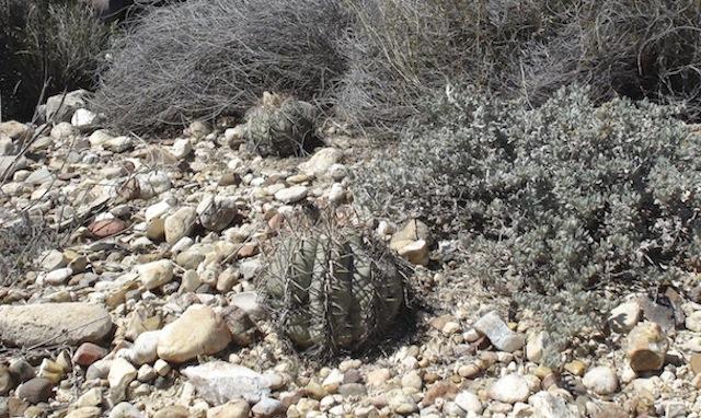 Echinocactushorizontalonius.jpg