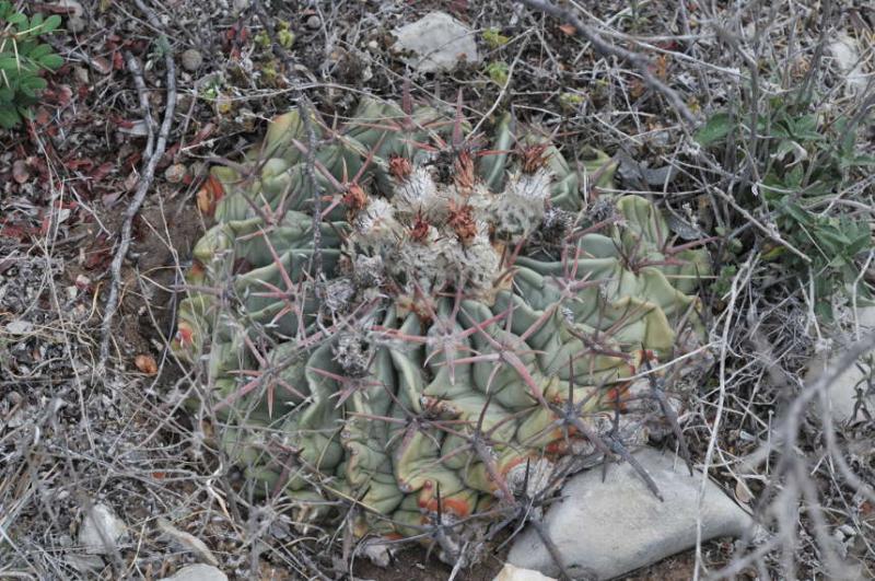 TEX_9667_echinocactustexensis.JPG