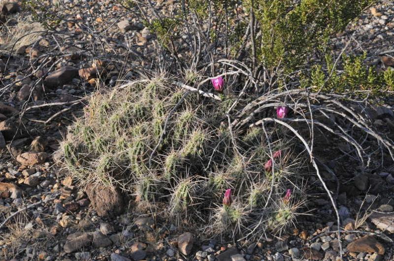 TEX_1955_echinocereusenneacanthusvar.enneacanthus.jpg