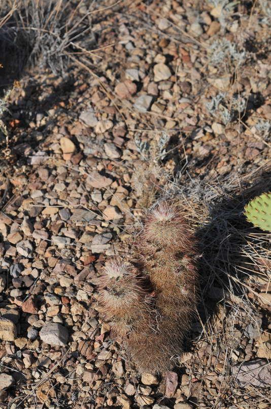 TEX_2099_Echinocereusviridiflorus.jpg