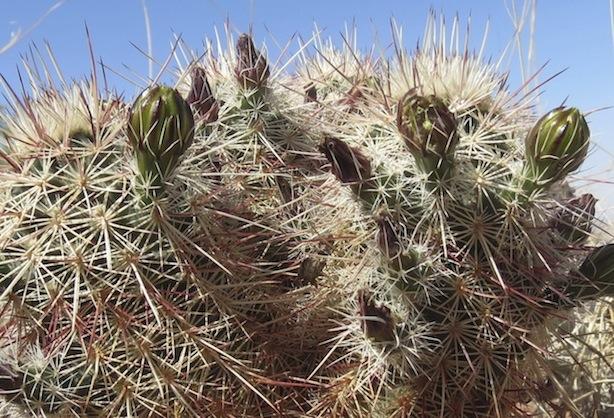 Echinocereusviridiflorusssp.chloranthus.JPG