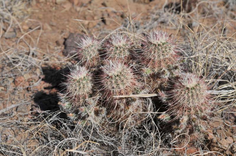 TEX_3739_echinocereuschloranthus.jpg