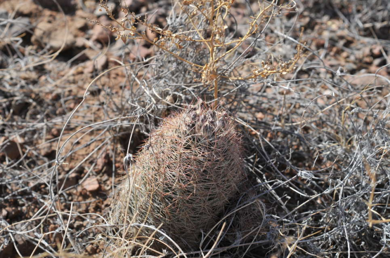 TEX_3688_sclerocactusintertextussspdasyacanthus.jpg