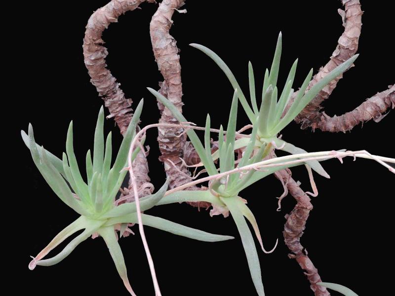 Dudleya--albiflora.jpg