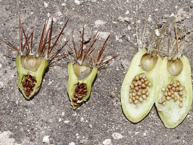 C.echinacea-ignescens.JPG