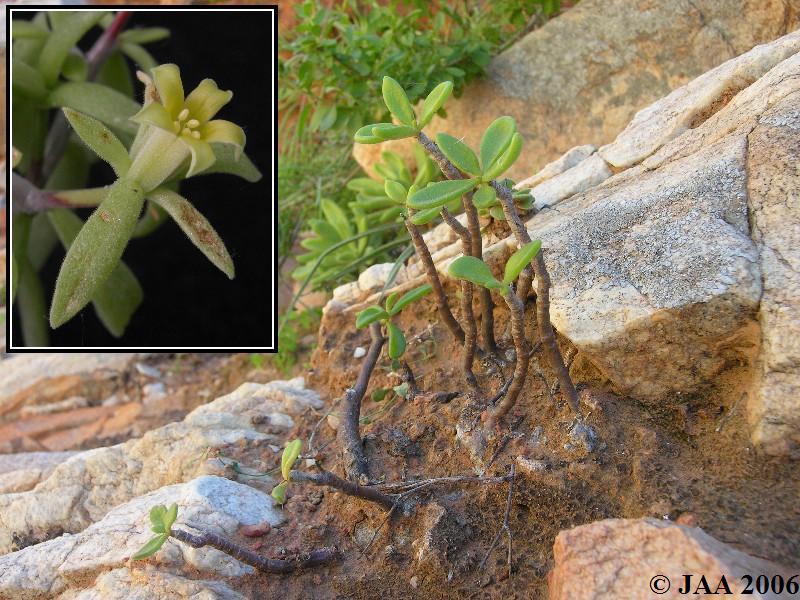 JAA474.Tylecodon.viridiflorus.JPG