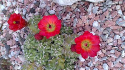 Echinocereus inerme et tr s r sistant au froid for Cactus exterieur resistant au froid