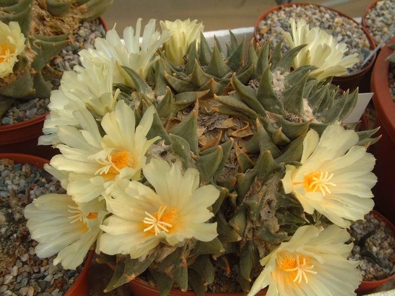 AriocarpustrigonusDscf7551.jpg