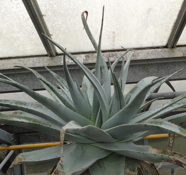 Aloepillansii.2.JPG