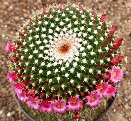 Mammillariamystax.jpg