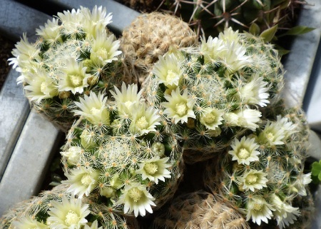 Mammillariadumetorum.jpg