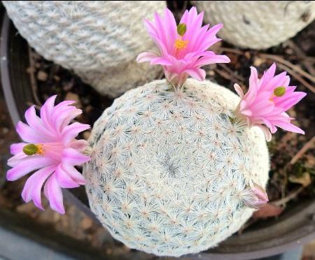Mammillariaherrere.jpg
