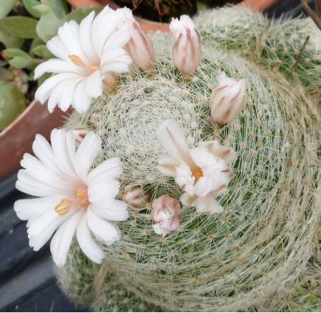 Mammillarialenta.jpg