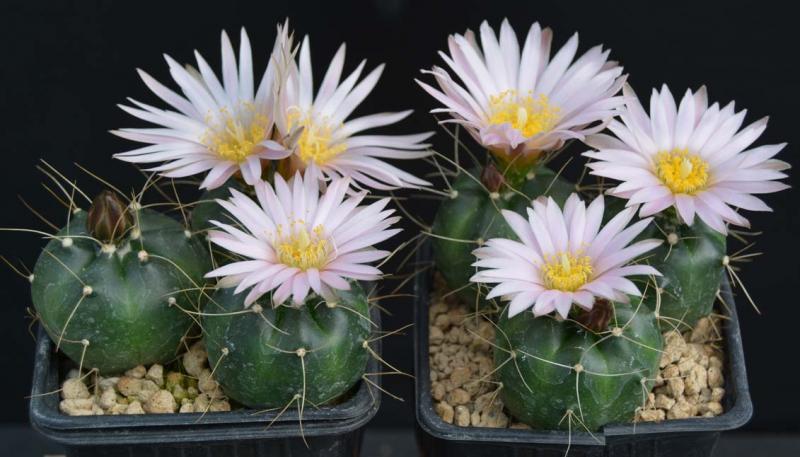 Echinocereusknippelianusv.kruegeriSB939DSC_0140copie.jpg