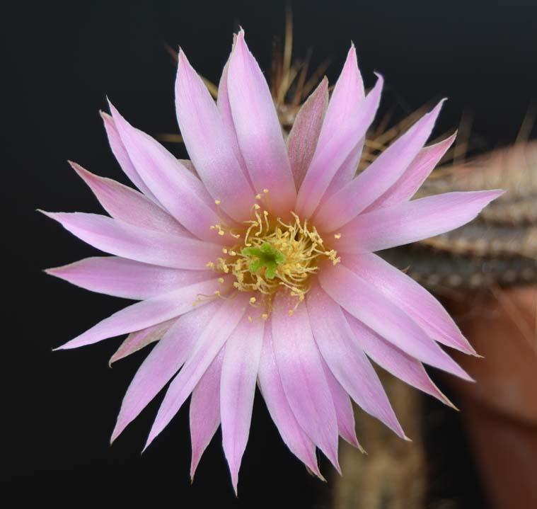 EchinocereusschmolliiDSC_0161copie.jpg