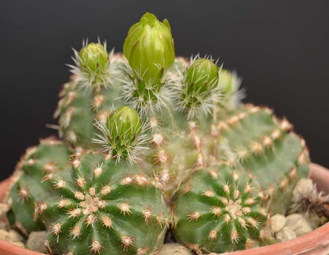 Echinocereusviridiflorusv.montanusDSC_0171copie.jpg