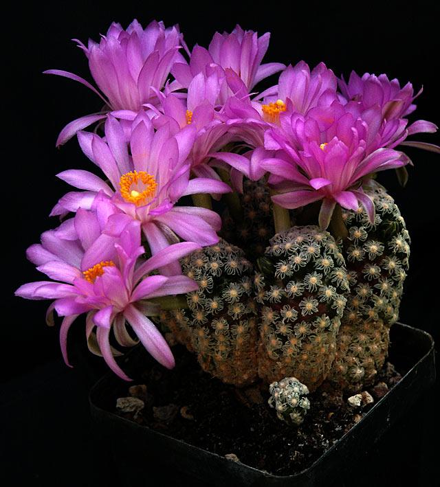 Mammillaria_theresae_f_polytomica.jpg
