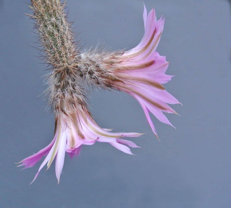 echinocereus_schmollii.jpg
