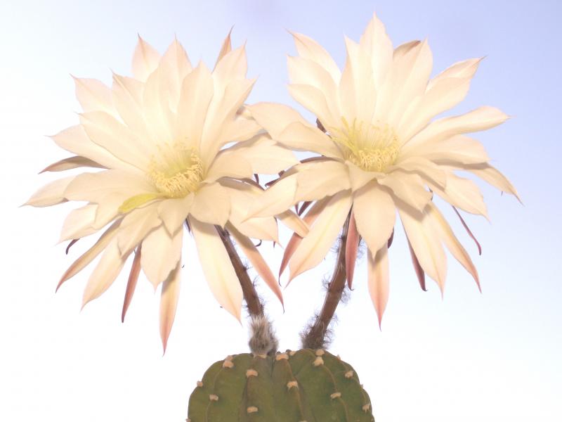 echinopsis_subdenudata.jpg