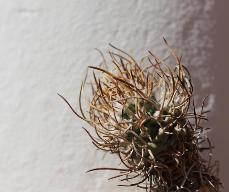 turbinicarpus_flaviflorus.jpg