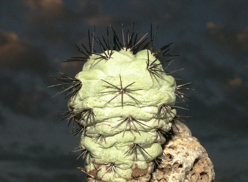 ortegocactus_macdougallii.jpg