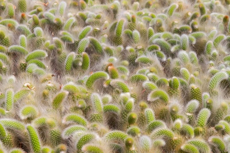 cleistocactus_winteri.jpg