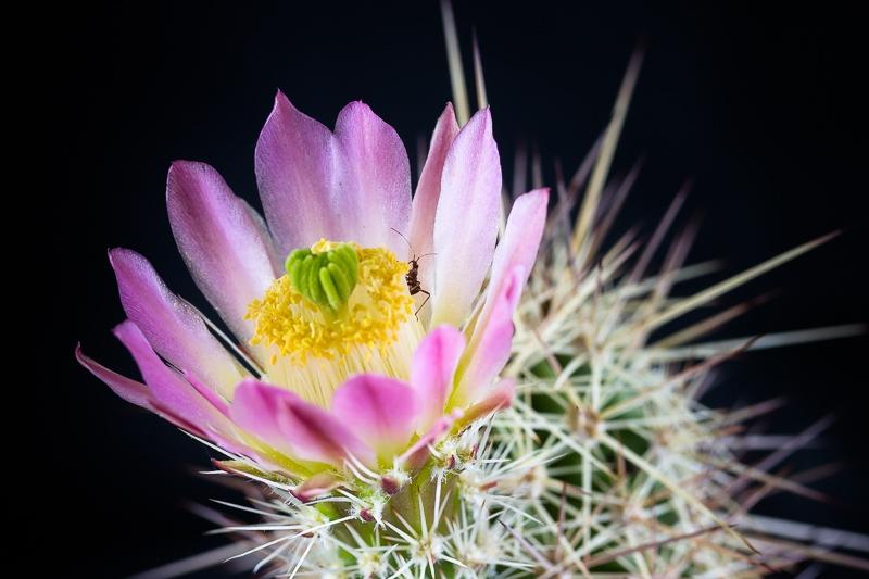 echinocereus_coccineus_var_rosei.jpg