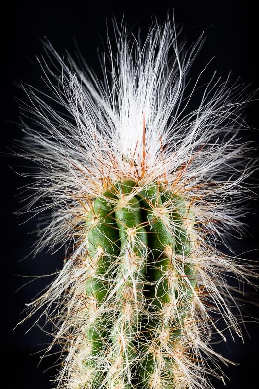 oreocereus_celsianus.jpg