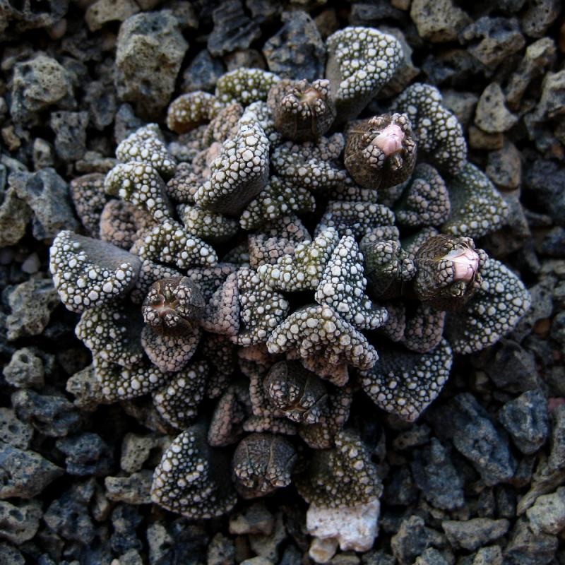 titanopsis_calcarea.jpg