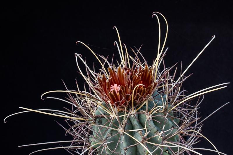 glandulicactus_uncinatus_subsp_wrightii.jpg