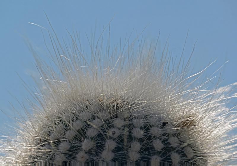 notocactus_rudibuenkeri.jpg