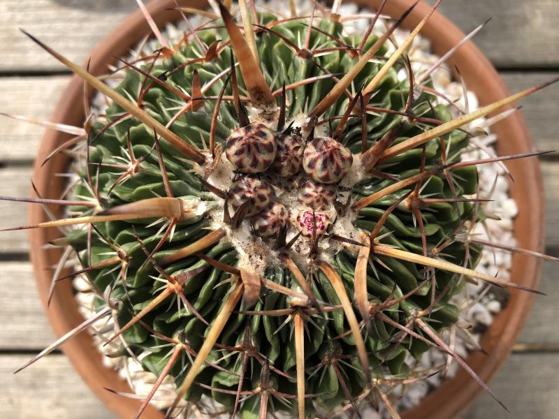stenocactus_crispatus.jpg
