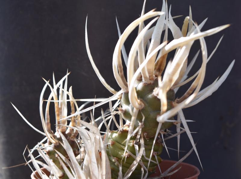 tephrocactus_articulatus.jpg
