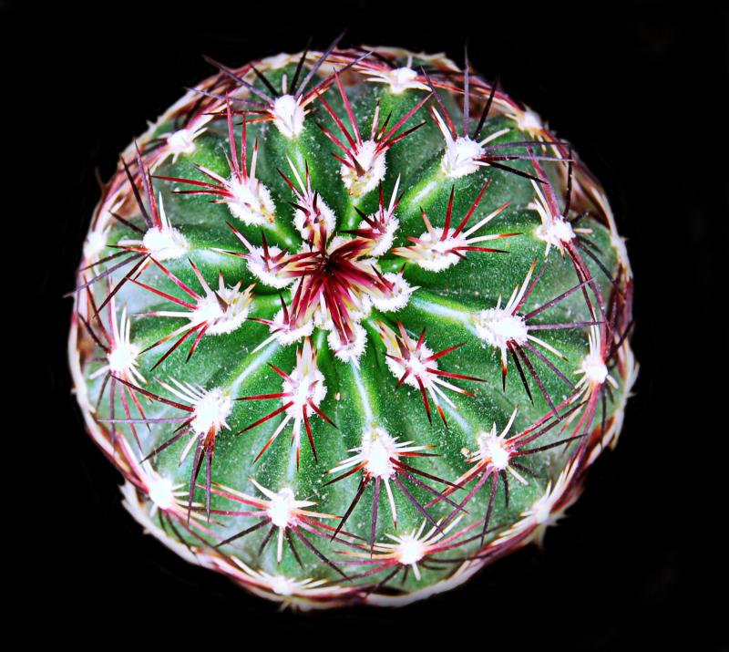 echinocereus_chloranthus.jpg