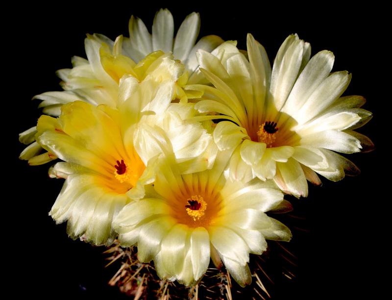 notocactus_piriapolensis2.jpg