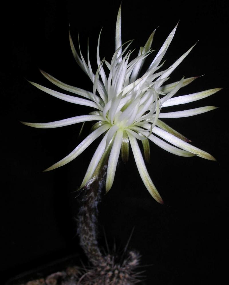 setiechinopsis_mirabilis.jpg