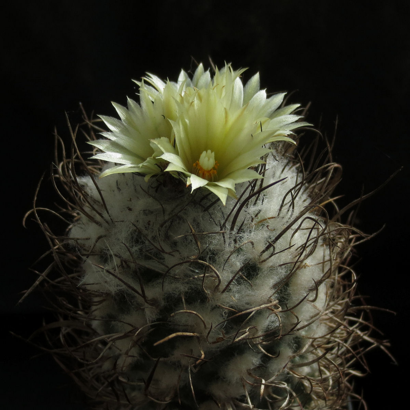 turbinicarpus_schmiedickeanus_flaviflorus.jpg