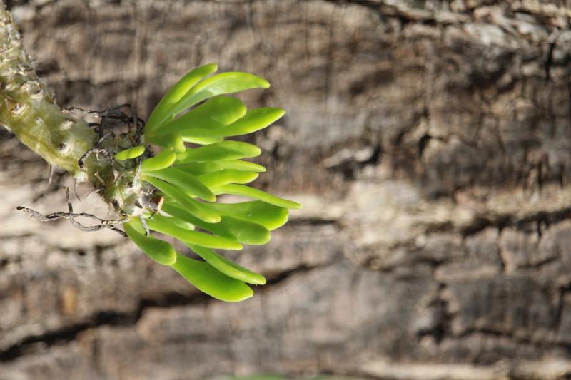 tylecodon_grandiflora.jpg