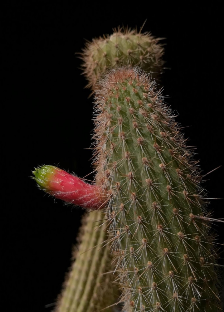 cleistocactus_smaragdiflorus.jpg