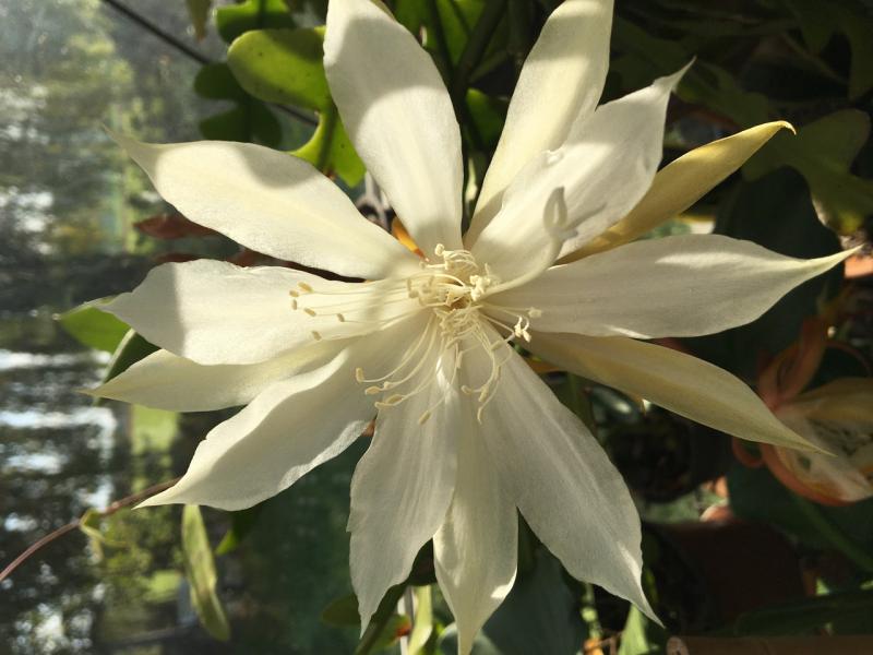 epiphyllum_anguliger.jpg