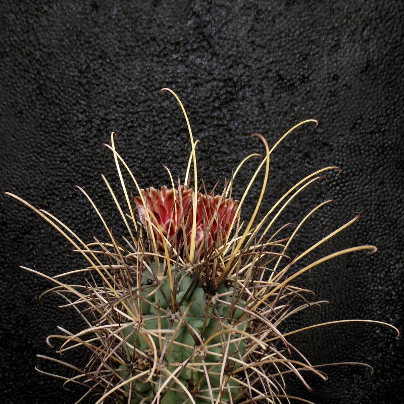 glandulicactus_uncinatus.jpg