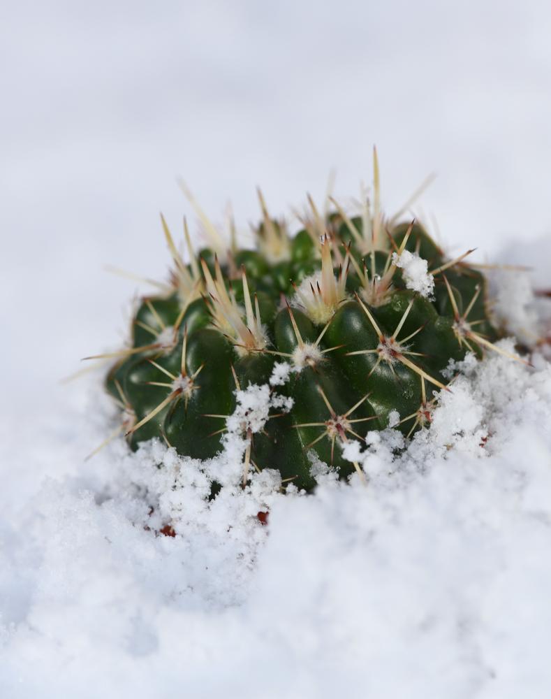 notocactus_roseolutus.jpg