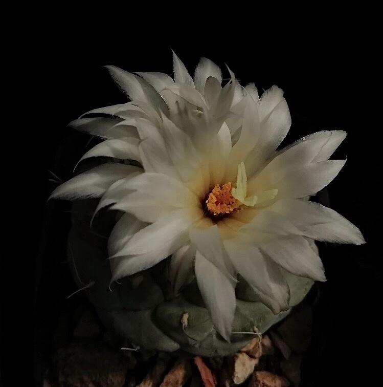 strombocactus_disciformis.jpg