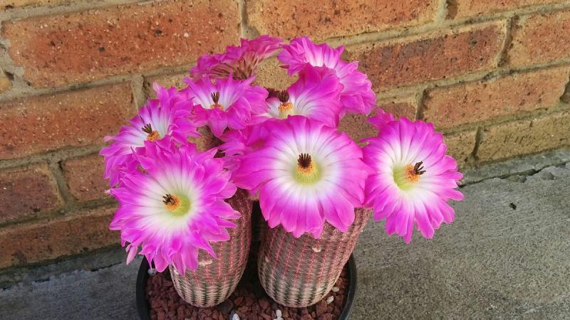 Rubrispinus_flowering.jpg