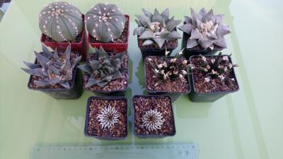 ariocarpus.jpg