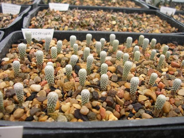 Pelecyphoraasseliformis.JPG