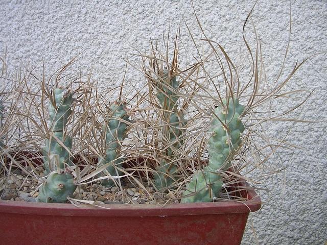 Tephrocactusaoracanthus.jpg